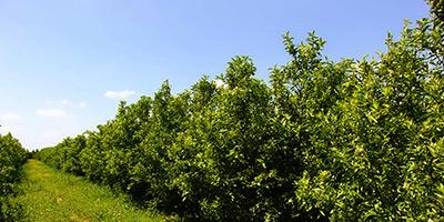 Agrumiculture : la superficie plantée dépasse  les objectifs du contrat programme