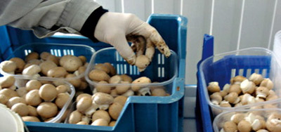 Le belge Bio investit à Meknès dans la production de champignons destinée au marché local