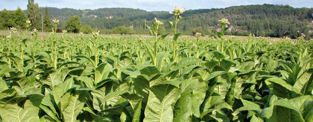 Culture du tabac : 115 MDH à investir d'ici 2017 pour booster la production