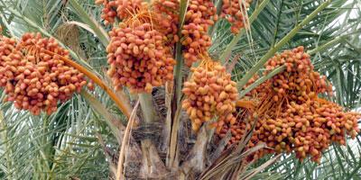 Un million de palmiers dattiers plantés depuis le lancement du Plan Maroc Vert