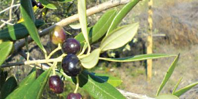 Maroc : la production d'olives devrait augmenter de 30% lors de la saison en cours