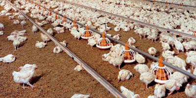Malgré la hausse des prix, les éleveurs de poulets vendent toujours à perte