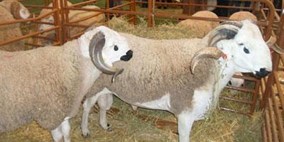 Aid Al Adha : Le Tadla-Azilal s'appuie sur l'élevage pour favoriser son essor