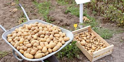 Pomme de terre : 10% des 60 000 hectares plantés ont été endommagés par le gel