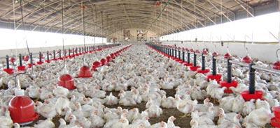 Le prix du poulet revient à la normale, selon la Fédération interprofessionnelle du secteur avicole