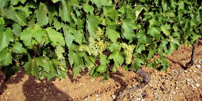 150 MDH pour développer la viticulture dans la province de Benslimane