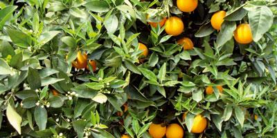 Agrumes : une production prévisionnelle évaluée à 1,9 million de tonnes