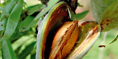 La production d'amandes a progressé de 38% entre 2008 et 2012