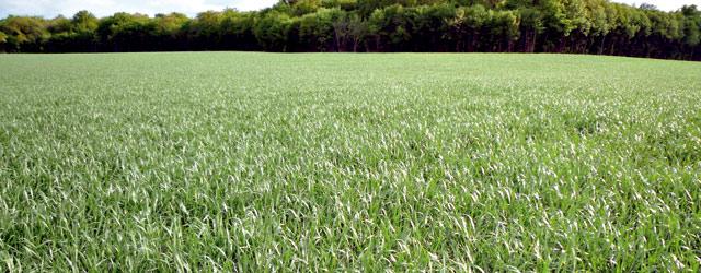 Campagne céréalière : les agriculteurs gardent espoir