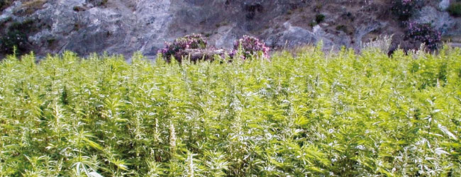 Maroc la l galisation du cannabis de plus en plus for Cannabis plantation interieur