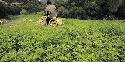 Maroc : une agence nationale pour contrôler  la production et le commerce du cannabis