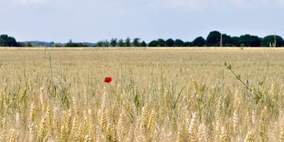 Soutien canadien de 6.6 millions de dollars pour le secteur de la mouture du blé dur