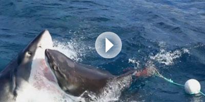 En Vidéo – Combat à mort de deux grands requins blancs !