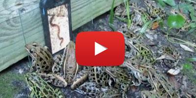 Des grenouilles hypnotisées par une vidéo de vers de terre sur un iPhone !