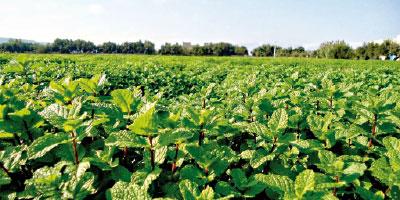 Le Maroc exporte environ 6 000 tonnes de menthe par an