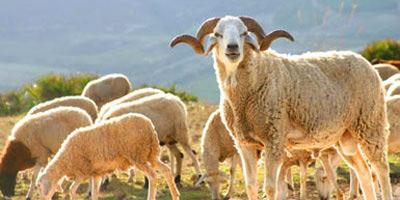 Des moutons bio sur le marché !