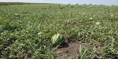 Les exportions de pastèques en hausse en dépit de la chute de la production