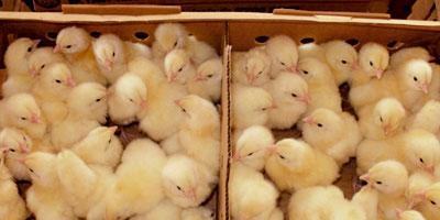 Le Maroc est devenu exportateur d'oeufs et de poussins