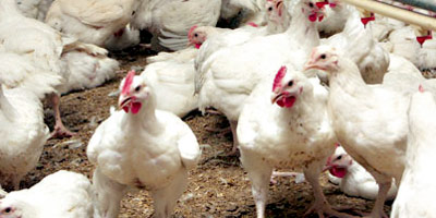 Forte hausse du prix du poulet de 8 à 10 DH le kilo durant ces dernières semaines !