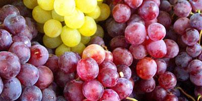 Viticulture : Le Maroc produit 230 000 tonnes de raisin par an sur 49 000 ha
