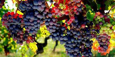 Hausse de 10% de la production  de raisins de cuve