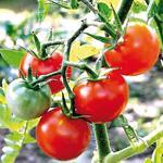 Tomate : la production de saison arrive, les prix en légère baisse