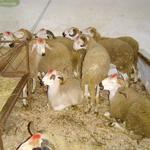 Aïd Al Adha : 7 millions de bêtes disponibles pour l'abattage, 5 millions seront sacrifiés