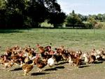 Grippe aviaire : les détails du plan d'action du Maroc
