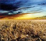 Céréales : malgré le retard, 5 millions d'hectares emblavés à la mi-janvier