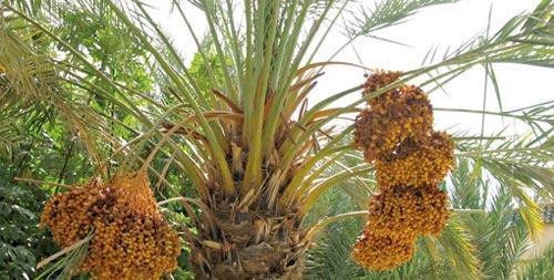le maroc veut planter un million de palmiers dattiers d. Black Bedroom Furniture Sets. Home Design Ideas