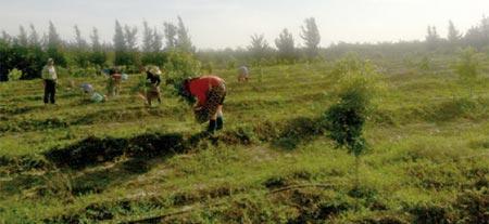 Gharb : le contrat programme dope le renouvellement du verger agrumicole