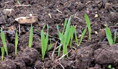 Ruée sur les semences sélectionnées de céréales : un million de quintaux écoulés à fin novembre