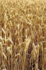 Céréales : le marché en manque de semences