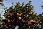 Moins d'oranges et de mandarines  cette année