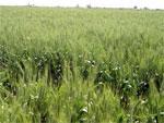 Doukkala : 48 000 ha de céréales en zone bour définitivement perdus