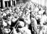 Aviculture : les éleveurs ont du mal
