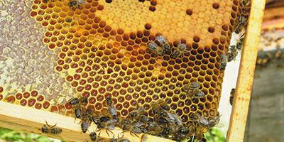 La production de miel est en baisse