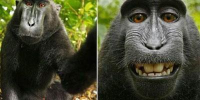Polémique autour d'un selfie de singe !
