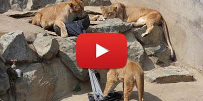 Top tendance au Japon : des jeans déchirés par des animaux !