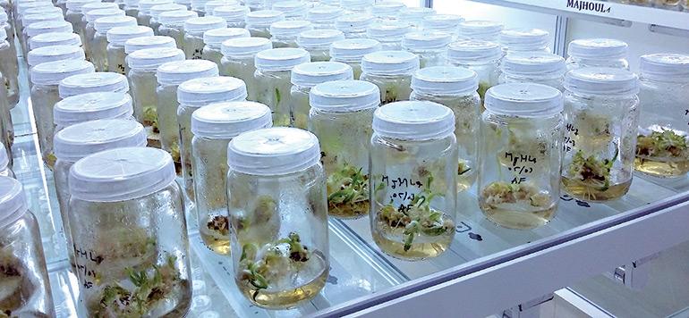 Palmier dattier : 32 000 vitroplants de mejhoul en cours de certification