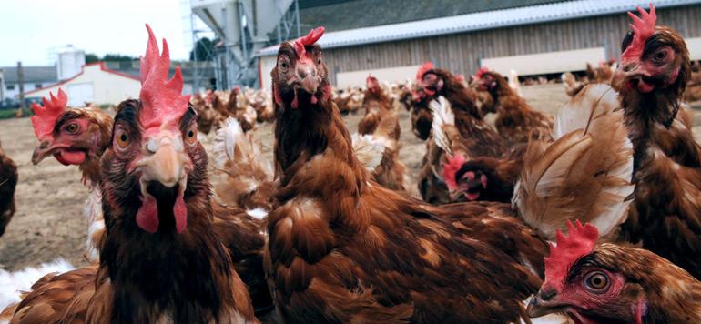 La grippe aviaire affecte le chiffre d'affaires des aviculteurs de la région Fès-Meknès