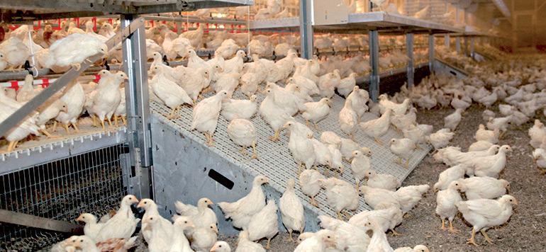 Exportations de produits avicoles en Europe : le Maroc se prépare activement