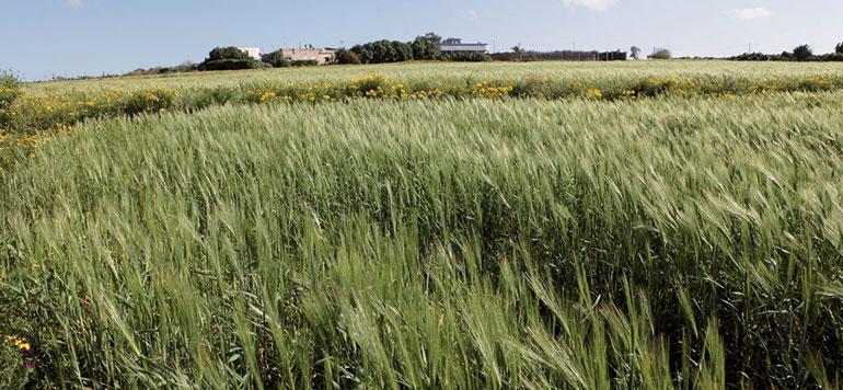 Collecte du blé tendre : l'Etat fixe les règles