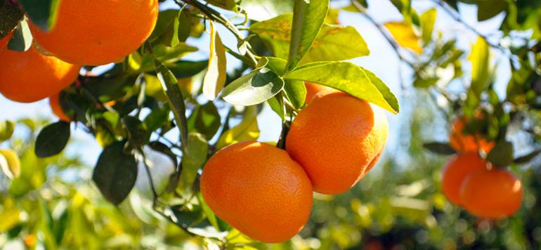 SIAM : Le secteur de l'agrumiculture se porte bien