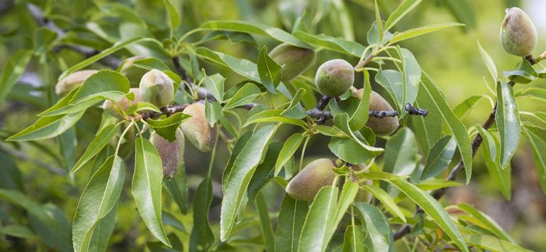 Siam l amandier un fruit peu exigeant lavieeco - Fruit de l amandier ...