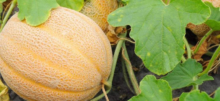 SIAM : Du melon à exporter et pour approvisionner le marché national