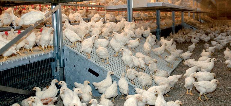 Forte baisse des prix du poulet après l'Aid Al Adha