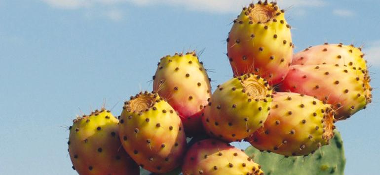 Le cactus marocain menacé: Le ministère de l'Agriculture réagit