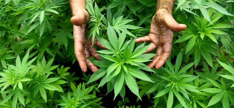 Italie: proposition de loi sur la légalisation du cannabis