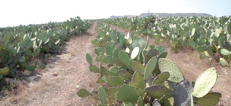 Le cactus, une des cultures phares dans la province de Rhamna